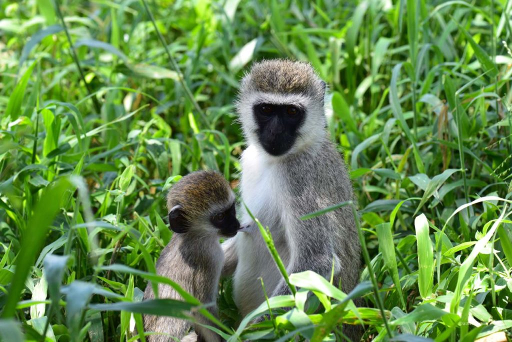 Tarangire National Park, Lake Manyara Region, Tarangire Wildlife Lodge, Elephant, Gnu, Gray Langur, Giraffe, Antelope, Dik-Dik, Warthog, Baboon