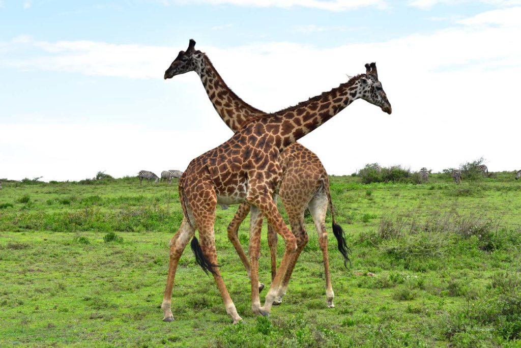 Ndutu Area, Tanzania Bush Camp Ndutu, Zebra, Lion, Hyena, Flamingo, Gnu, Giraffe, Antelope, Dik-Dik, Aerial Views
