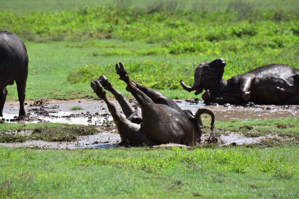 Ngorongoro Conservation Area, Ngorongoro Crater, Gibb's Farm, Zebra, Masai Village, Zebra, Ostrich, Elephant, Flamingo, Gnu, Rhino, Buffalo, Hippo, Antelope, Aerial Views